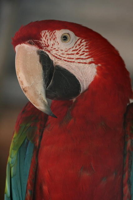 Picture of macaw.