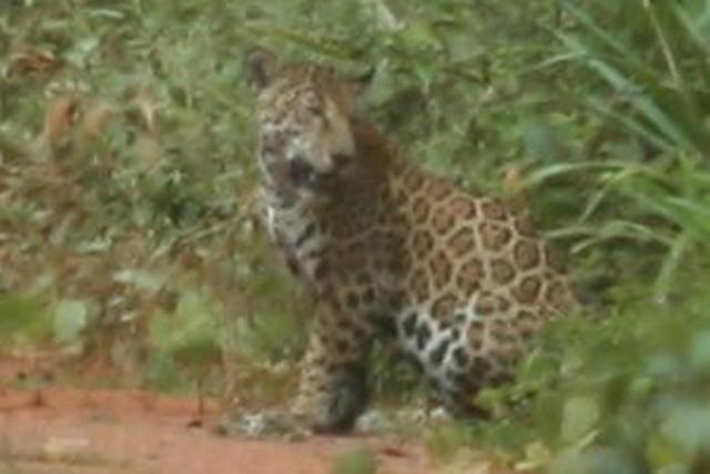 Picture of jaguar.