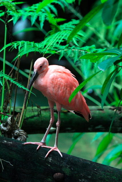 Picture of ibis.