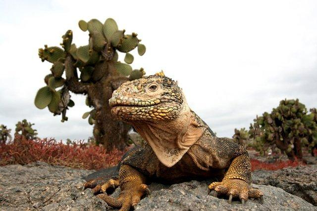 Picture of sea iguana.