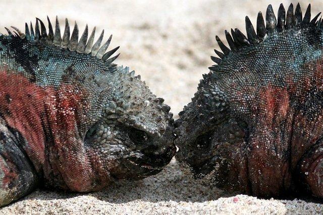 Picture of iguanas.