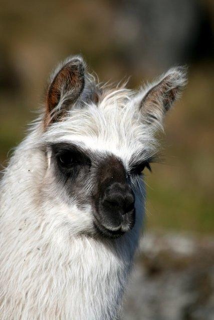 Picture of llama.
