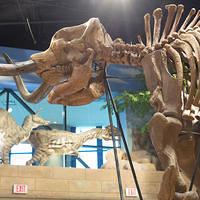 This mastodon lived during the Ice Age, which took place a few years after the Genesis Flood. A mass of intestinal material was found within its ribcage, investigation of which revealed its last meal, as well as bacteria thought to be thousands of years old.