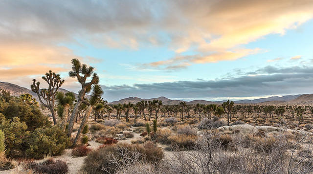 Picture of Joshua trees.