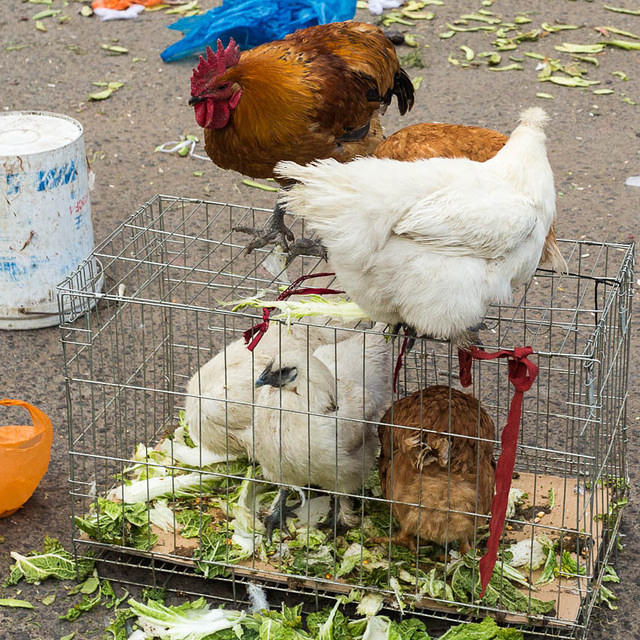Picture of chickens.