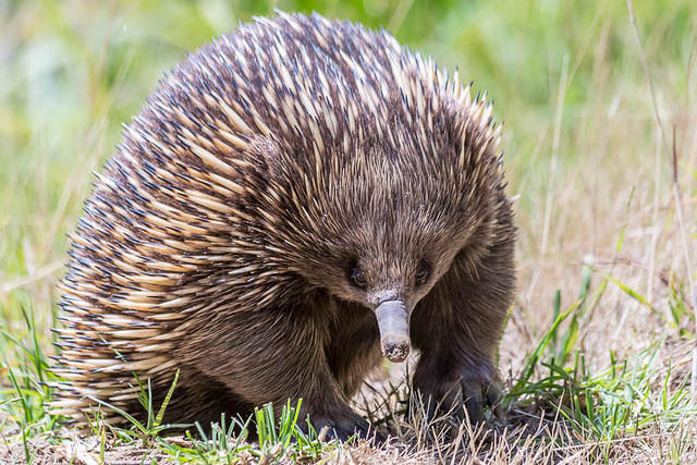 Picture of echidna.