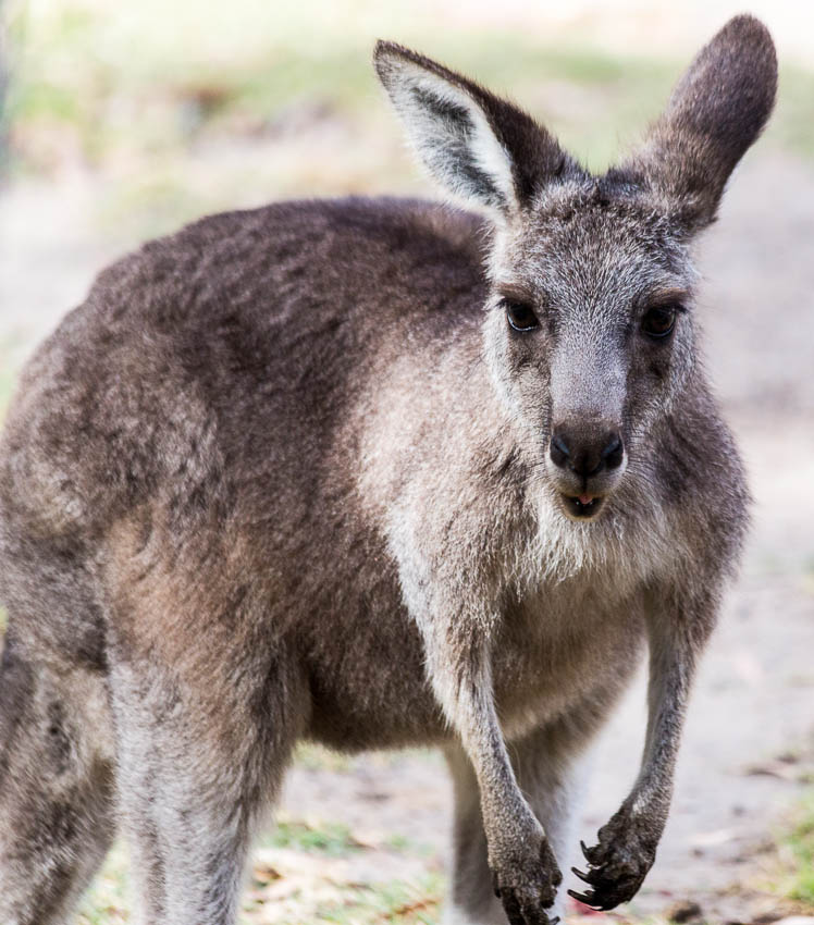 Picture of kangaroo in Australia.