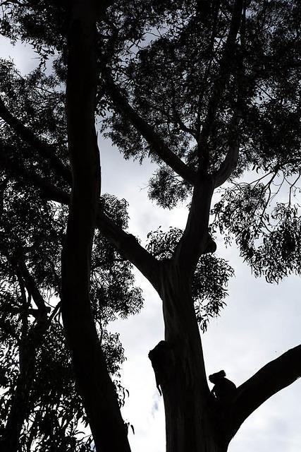 Picture of koala.