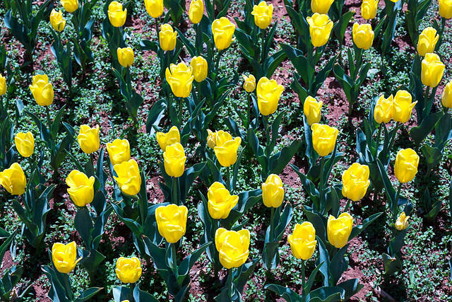 Picture of tulips.