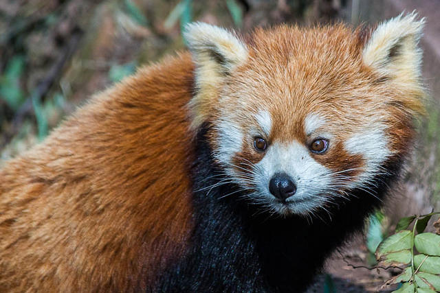 Picture of red panda.