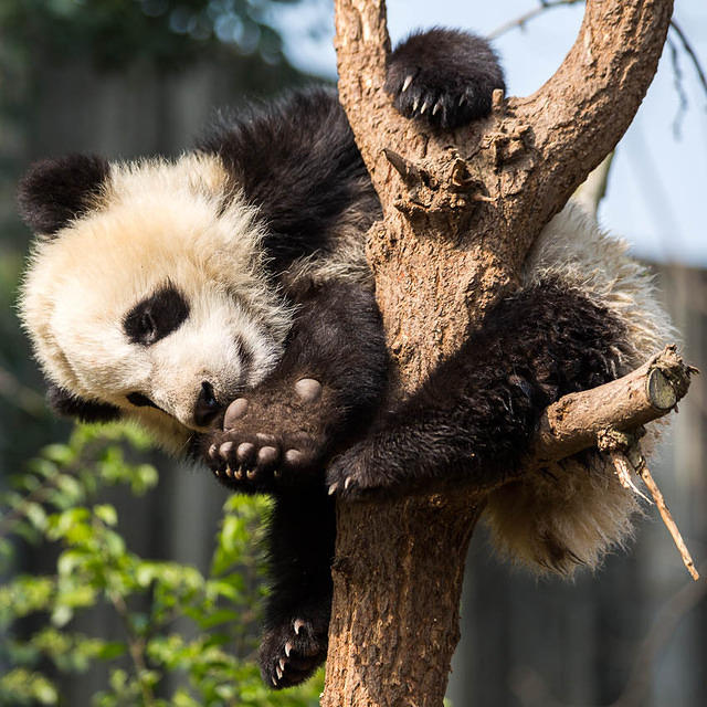 Picture of panda.