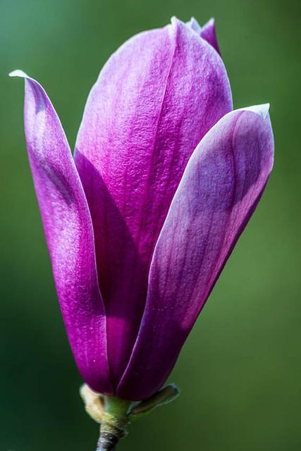 Picture of tulip.