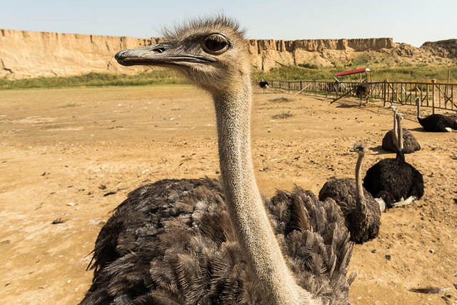 Picture of ostrich.