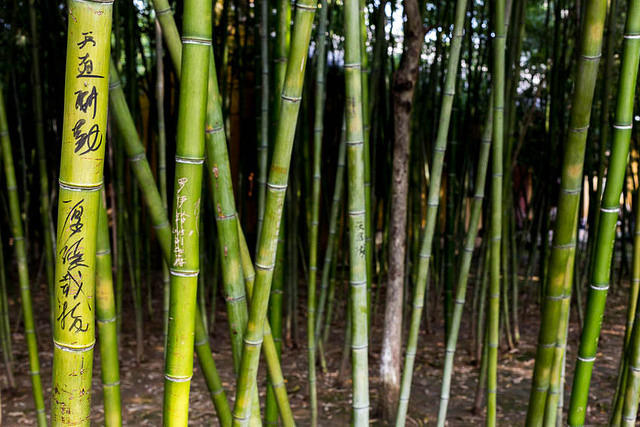 Zhouzhuang - Picture of bamboo.