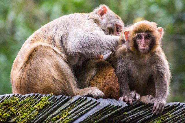 The Monkeys of Zhangjiajie