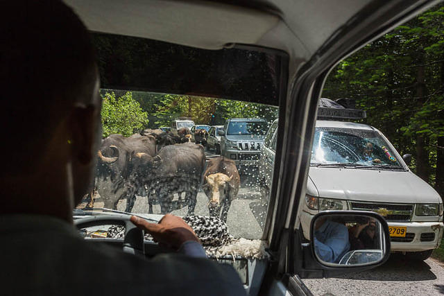 Picture of cows in the road in India.