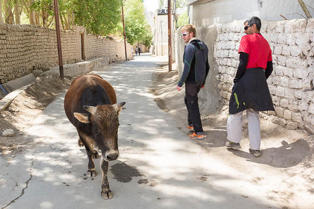 India: Picture of man in a red shirt avoiding a bull on a street in India.