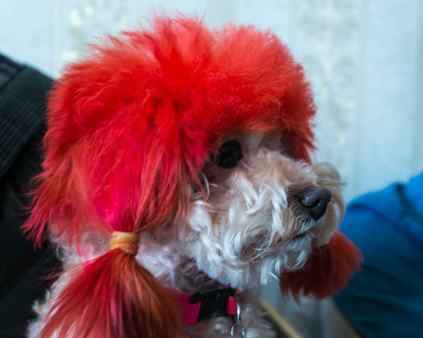 Picture of dog with dyed red fur.