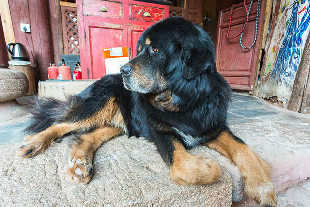 Picture of a Tibetan dog in Shaxi, China.