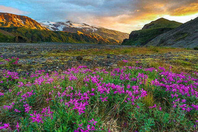 Iceland: Picture of wildflowers.