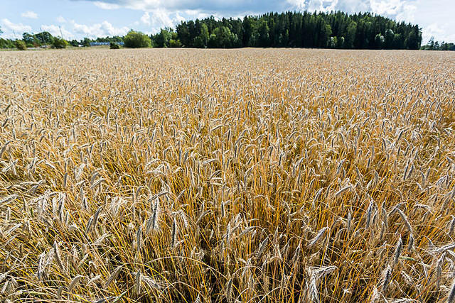 Finland: Picture of wheat field.