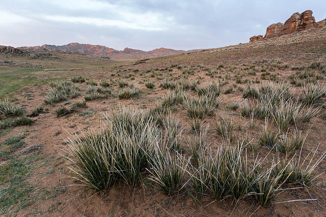 Gobi: Picture of grass.