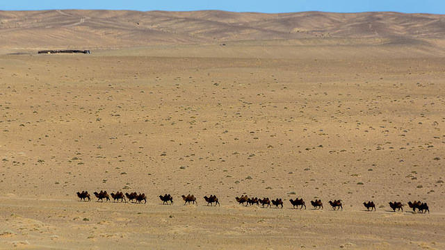 Gobi: Picture of camels.