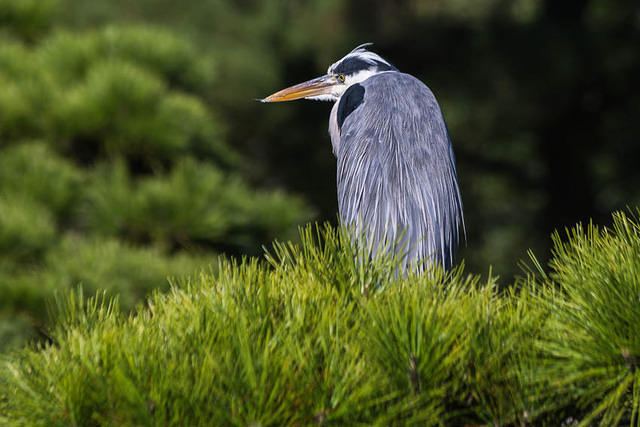 Picture of heron in Takamatsu, Japan.