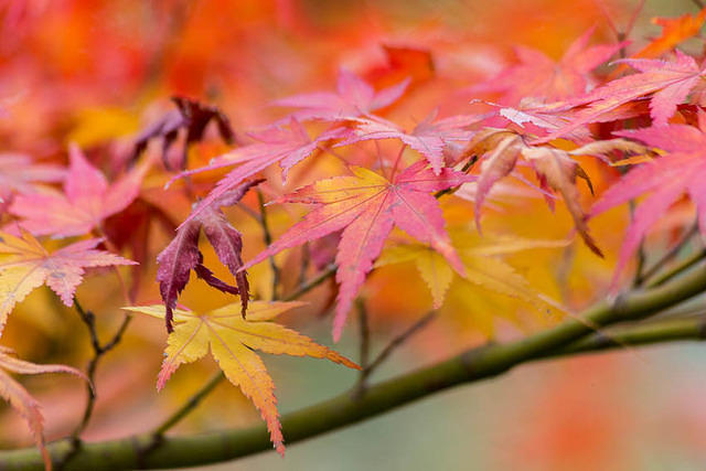 Picture of colorful maple leaves in Japan.