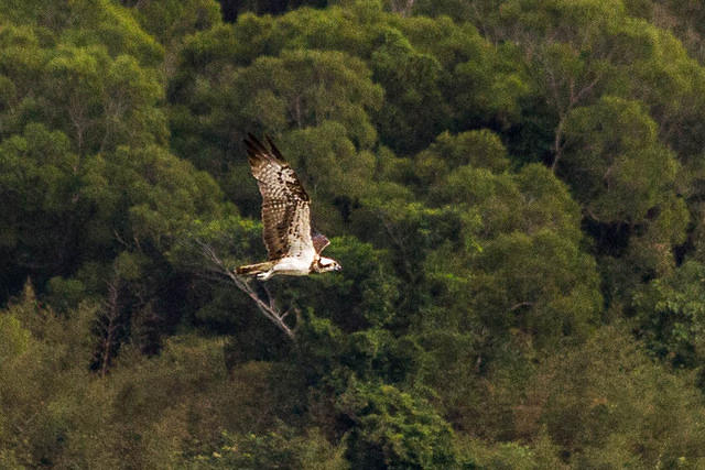 Random: Picture of osprey.
