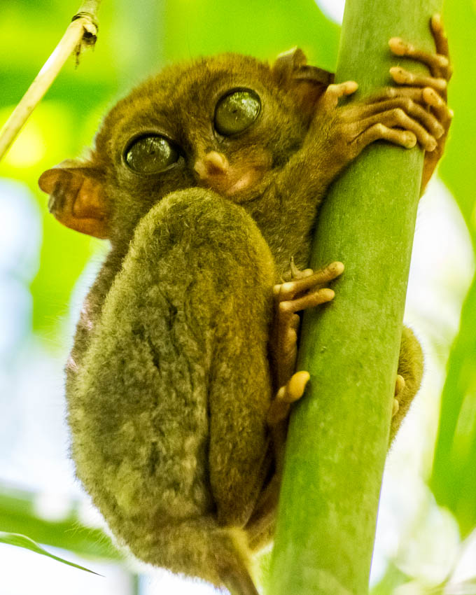 Picture of tarsier.