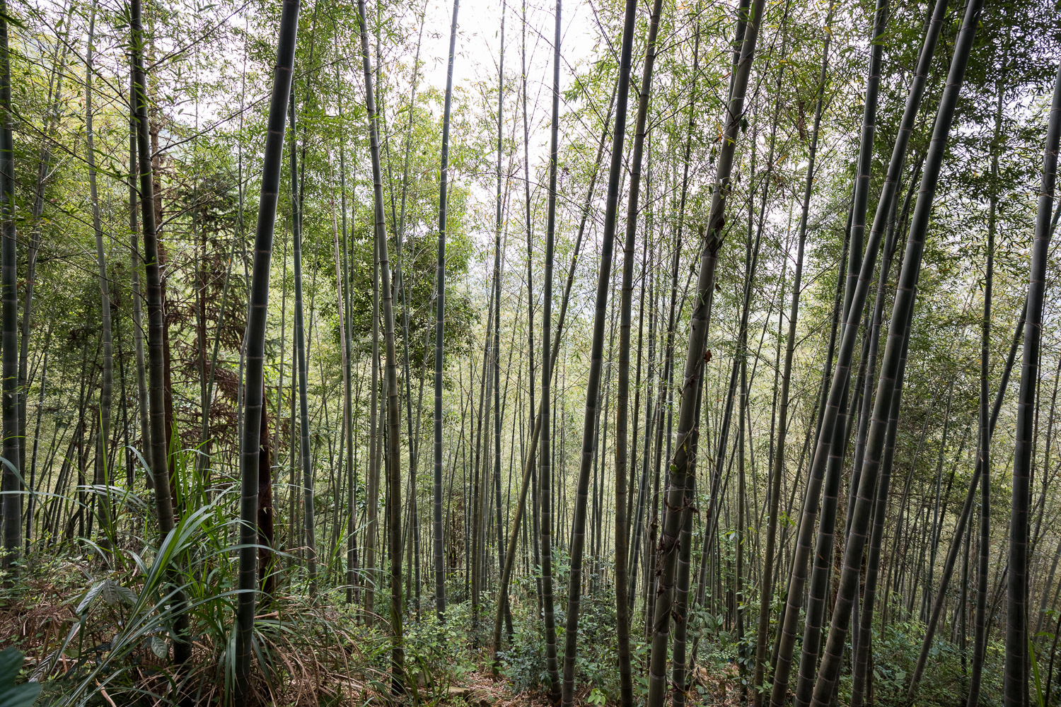 Picture of bamboo forest.
