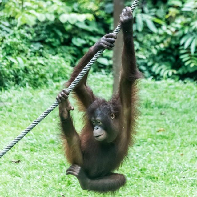 Picture of orangutan swinging on rope.