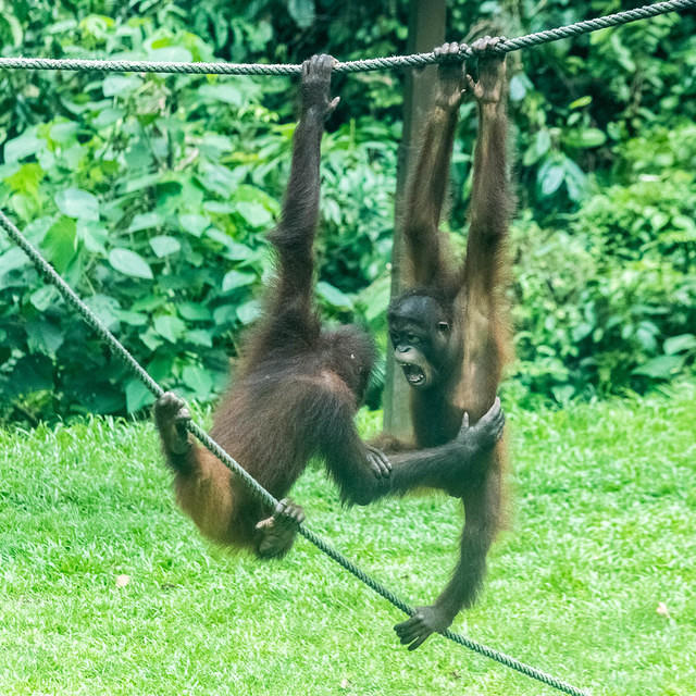 Picture of two juvenile orangutans hanging from a rope and playing.