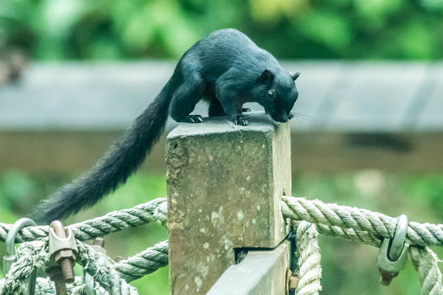 Picture of long-tailed black squirrel.