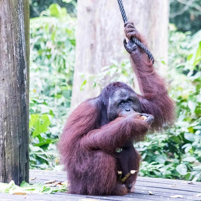 Picture of alpha male orangutan.