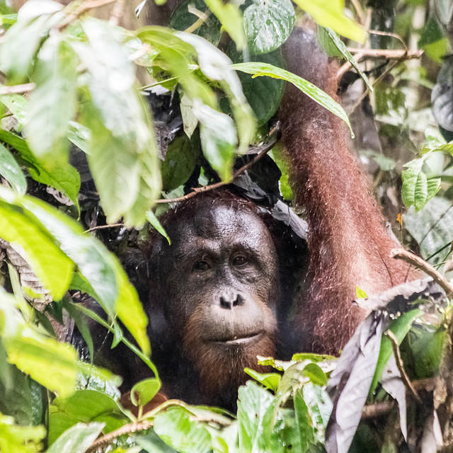 Picture of orangutan attempting to stay out of the rain.