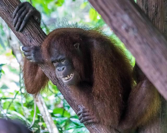 Picture of orangutan bearing its teeth.