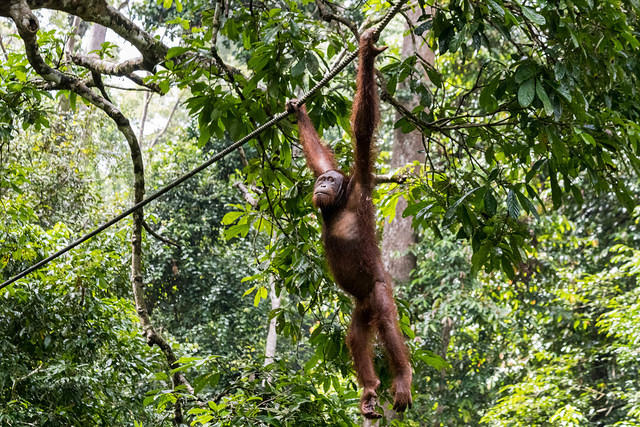 Picture of orangutan hanging from rope.