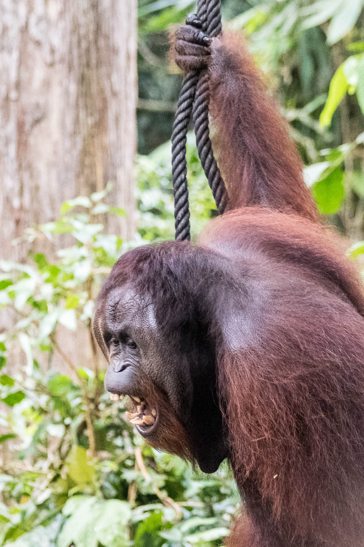 Picture of angry alpha male orangutan.