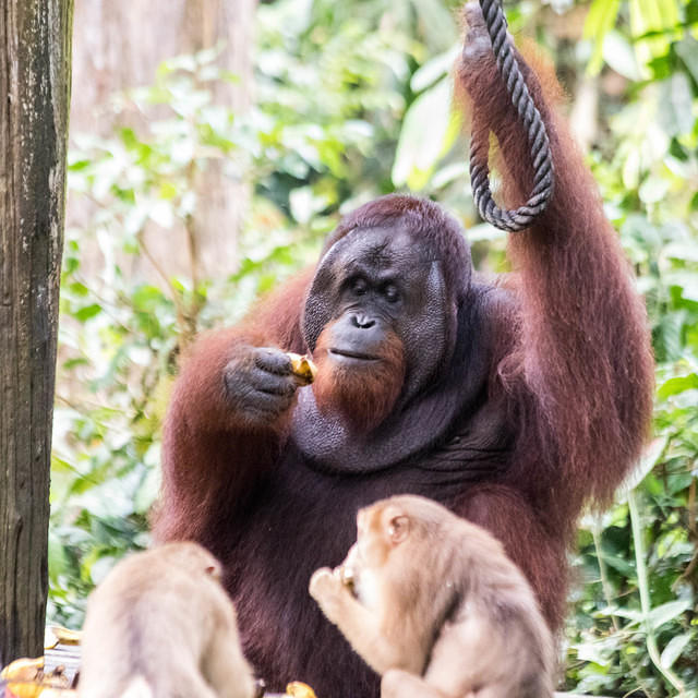 Picture of orangutan and macaques eating.