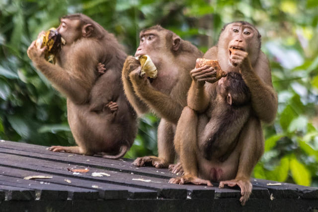 Picture of macaques eating.