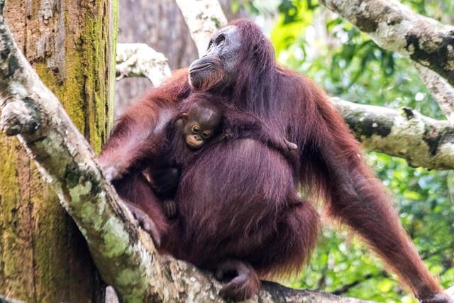 Picture of orangutans.