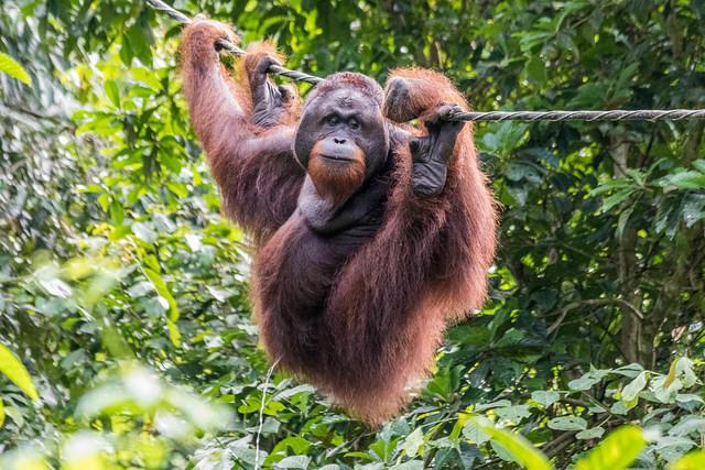 Picture of peeing alpha male orangutan.