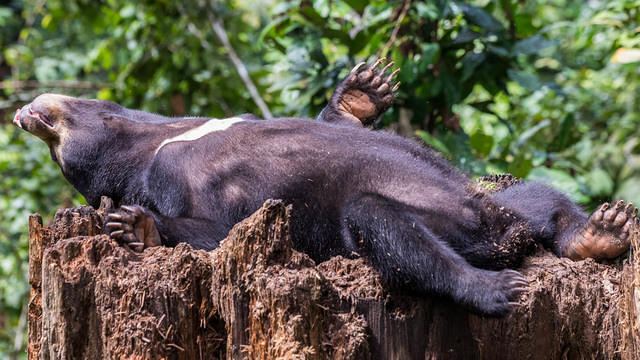 Picture of sun bear relaxing on its back.