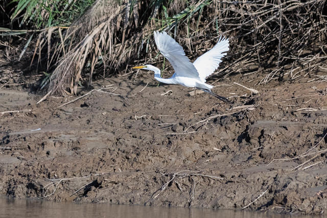 Picture of a flying cattle egret.
