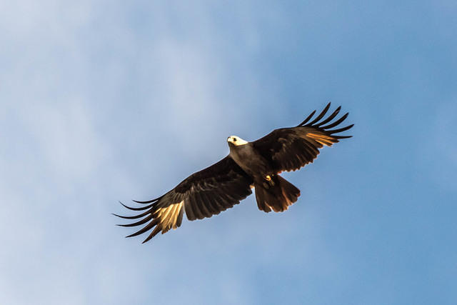 Picture of flying brahminy kite.