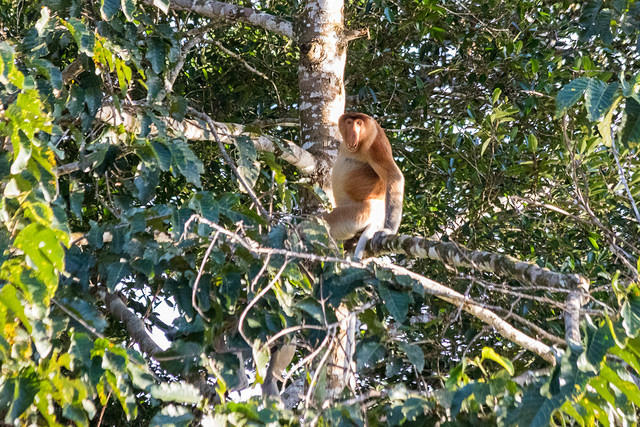 Picture of proboscis monkey.