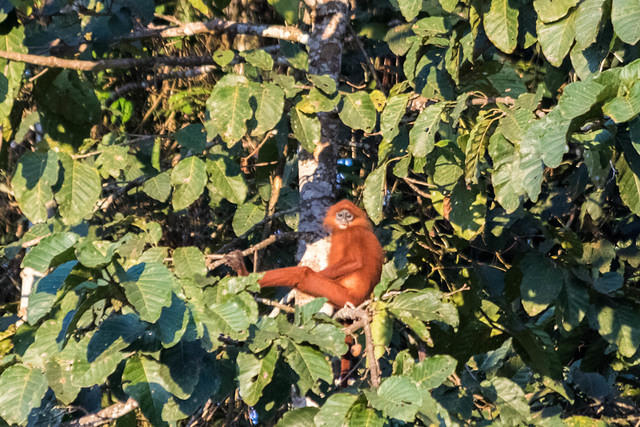 Picture of red-faced langur.