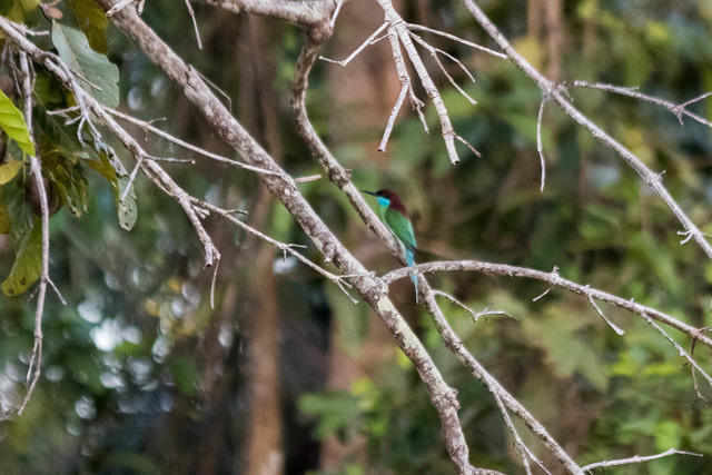 Picture of blue-throated bee-eater.